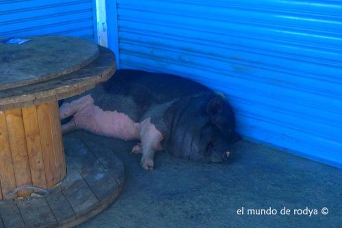 cerdo durmiendo siesta taiwan