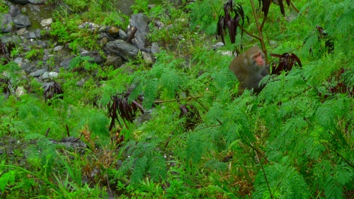 tiansiang tianxiang taroko national park hualien taiwan macaque macaco monkey formosan monkey