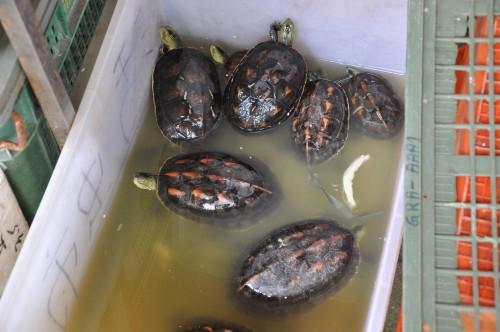 tainan,market, mercado, tortuga, turtle